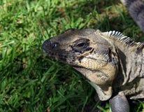 Leguan Arkivfoton