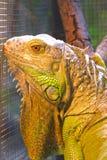 Leguan Royaltyfri Bild