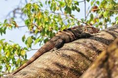 Leguan Royaltyfria Foton