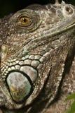 Leguan Stockbild