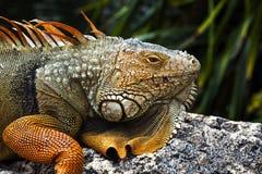 Leguan Royaltyfri Foto