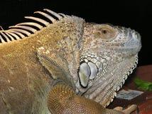 Leguan Стоковое Изображение