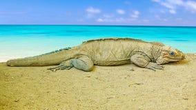 Leguan Стоковое фото RF