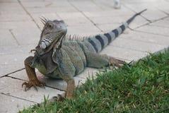 Leguan auf Bürgersteig Stockfotos