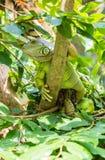 Leguan auf Baum Stockbild