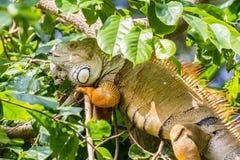 Leguan auf Baum Lizenzfreie Stockfotografie