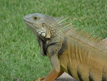 Leguan auf dem Prowl Lizenzfreie Stockfotografie