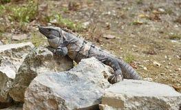 Leguan auf einem Felsen Stockbild