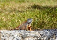 Leguan auf einem Felsen Lizenzfreie Stockfotos