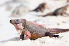 Leguan auf einem weißen Sandstrand Stockfotografie