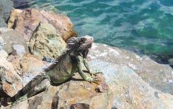 Leguan auf Felsen Lizenzfreie Stockbilder
