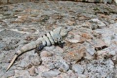Leguan auf Felsen in Uxmal, Yucatan, Mexiko stockfotografie