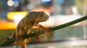 Leguan auf Niederlassung Lizenzfreies Stockfoto