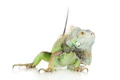 Leguan auf weißem Hintergrund lizenzfreies stockbild
