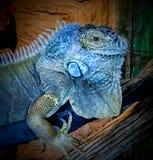 Leguan azul Stockbilder