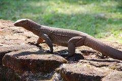 Leguan beschmutzt im alten Standort Stockbild