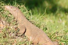 Leguan beschmutzt im alten Standort Sri Lanka Lizenzfreies Stockbild