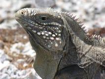 Leguan Cayo Largo Royaltyfri Bild