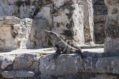 Leguan in den Ruinen in Tulum, Mexiko lizenzfreies stockfoto