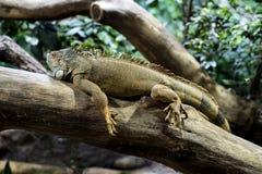 Leguan, der auf Baum stillsteht Stockbild