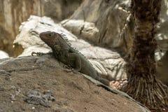 Leguan, der auf einem Felsen sitzt Lizenzfreies Stockfoto