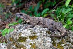 Leguan, der auf Felsen stillsteht Lizenzfreies Stockbild