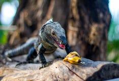 Leguan, der Banane isst lizenzfreies stockbild