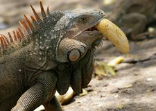 Leguan, der Banane isst Stockfoto