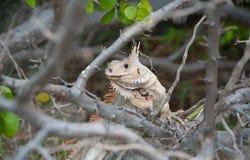 Leguan, der in den Zweigen sich versteckt stockfotografie
