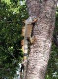 Leguan, der einen Baum klettert lizenzfreie stockbilder