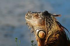 Leguan, der für die Kamera aufwirft Lizenzfreies Stockbild