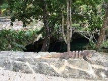 Leguan, der herein über Gran Cenote schaut lizenzfreie stockbilder