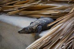 Leguan, der im Dach sich vorbereitet, Puerto Escondido Mex zu springen lebt Lizenzfreies Stockbild