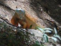 Leguan, der Sonne genießt lizenzfreies stockbild