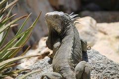 Leguan, der zurück beim Faulenzen auf einem Felsen schaut lizenzfreie stockfotos