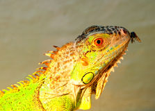 Leguan and fly Stock Photography