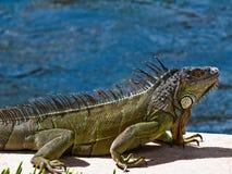 Leguan in Ft Lauderdale, das seinen Boden hält Stockfotos