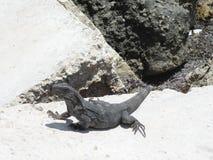 Leguan i Belize Arkivfoto