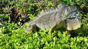Leguan i den storslagna kajmannen som är karibisk Royaltyfri Foto