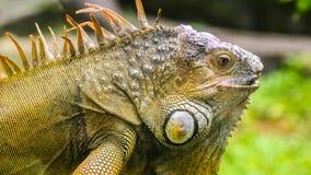 Leguan i dess härlighet royaltyfri fotografi