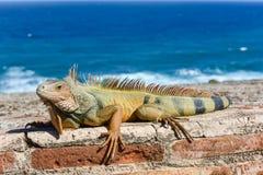 Leguan i El Morro - San Juan, Puerto Rico Fotografering för Bildbyråer