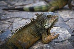 Leguan i en parkera i Guayaquil i Ecuador fotografering för bildbyråer
