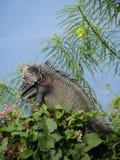 Leguan i ett träd Arkivfoton