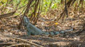 Leguan i flodstrand av brasilianen Pantanal Arkivbild