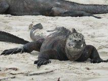 Leguan i Galapagos Royaltyfri Foto