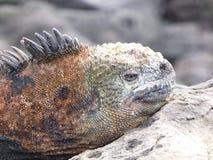 Leguan i Galapagos Arkivbilder