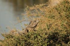 Leguan i gräset Arkivfoto