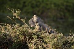 Leguan i gräset Fotografering för Bildbyråer