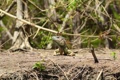 Leguan i hans miljö royaltyfria bilder