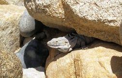 Leguan i Los Cabos Mexico Royaltyfri Bild